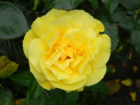 Anthony Mielland Rose
