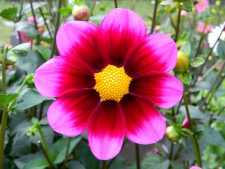 bashful: Bashful Dahlia Flower