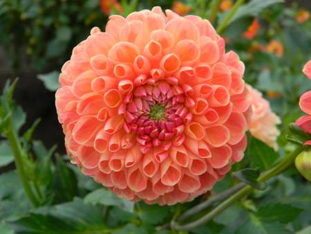 クライトン蜂蜜ダリアの花 写真素材