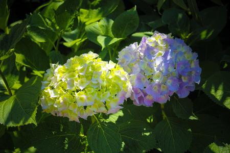 positano: Positano Flowers