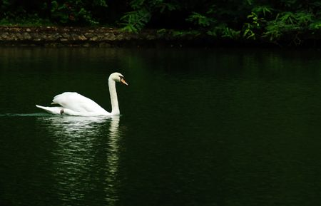 A gracious white swan crossing a pond Stock Photo - 970151