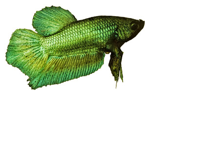 betta: Male green siamese fighting fish betta splenden isolated on white