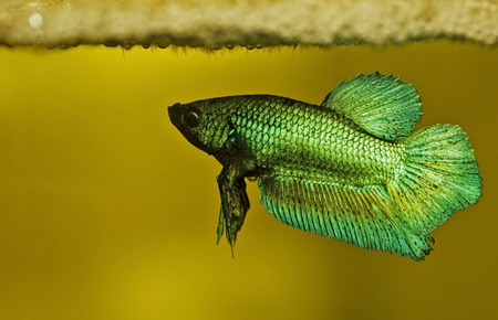 Male green siamese fighting fish guarding his newly hatched frys which are still attached at the bubblesnest.