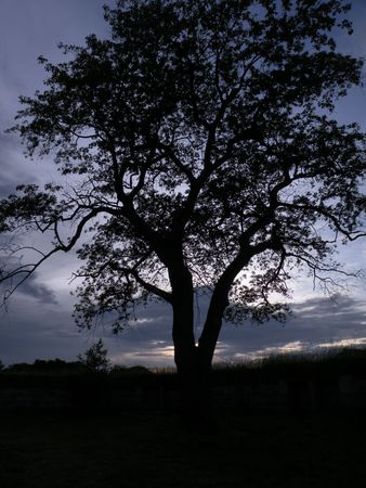 bewitched: Old Tree in the dusk which looks haunted