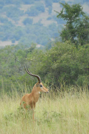 Impala, Afrika Standard-Bild - 14555161