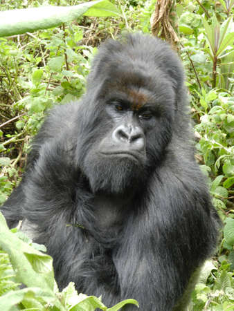 silverback: Mountain Gorilla Silverback