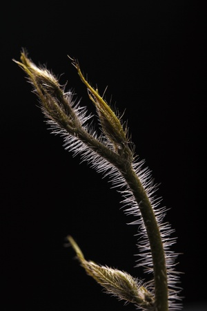 bristles: Young climber with sharp and long bristles on black background