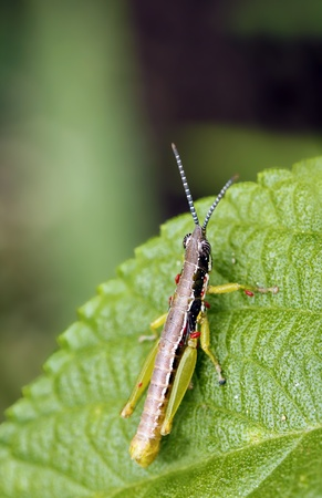 A brightly colored grasshopper resting on a leaf Stock Photo - 10473977
