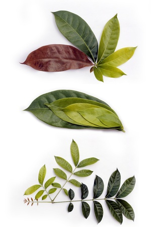 sycamore: Leaf of sycamore tree shown at different stages of growth Stock Photo
