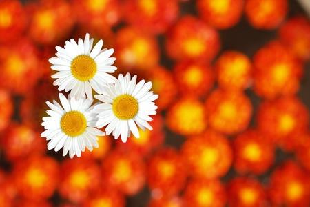 garden marigold: Three white daisies standing amidst marigold flowers in the background