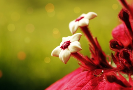 stupendous: Couple of Ashanti Blood flowers with blurred background and mantis insect