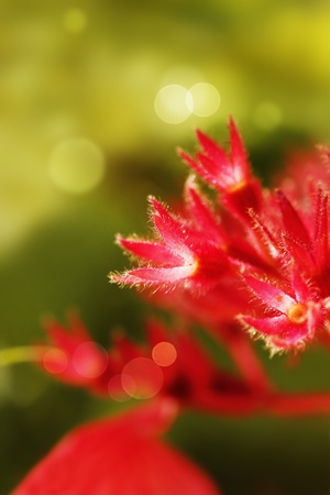 stupendous: Red Mussaenda sepals closeup glowing in sunlight Stock Photo