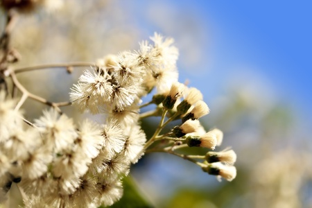 stupendous: Eupatorium flower bunches in full bloom and sky in background Stock Photo