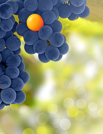stand out: Yellow grapes and purple grapes - stand out from the crowd concept Stock Photo