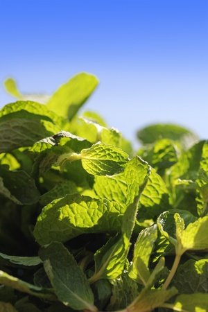 Fresh bunch of spicy flavored and aromatic mint leaves glowing in sun light  photo