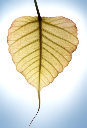 peepal tree: Heart shaped new leaf of peepal tree with sunlight in the background Stock Photo