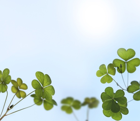 quarter foil: Young and fresh clover leaves backlit by sunlight in a garden