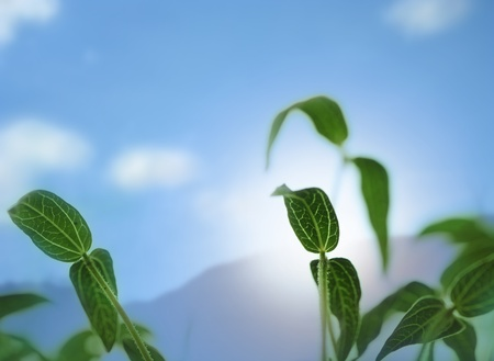 Young and  fresh bean sapling lit by sunlight with sun, sky and clouds in background Stock Photo - 13107259