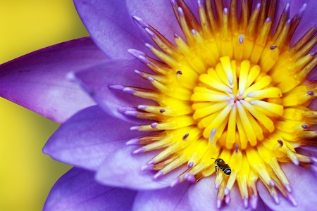 Purple colored water lily closeup showing yellow stamens and honeybee searching for nectar photo