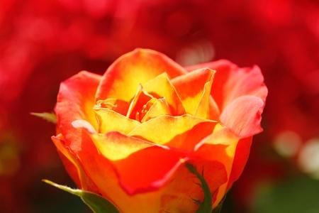 rosas naranjas: Orange rosa amarilla brillante en la luz del sol con el fondo borroso de color rojo Foto de archivo