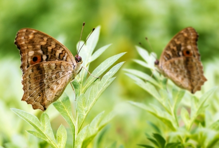 A pair of beautiful spotted butterflies relax on a plant photo