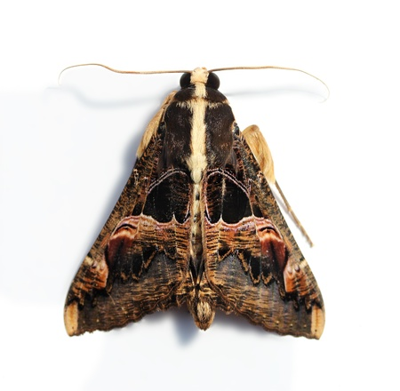 the antennae: A hairy moth with large wings and serrated antennae on white Stock Photo