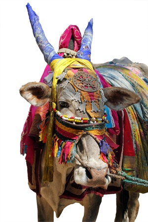 closeup cow face: Holy indian cow decorated with colorful cloth and jewelry