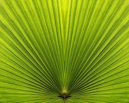 Palm leaf closeup with symmetric sides in bright green color and radiating lines Stock Photo - 13944155