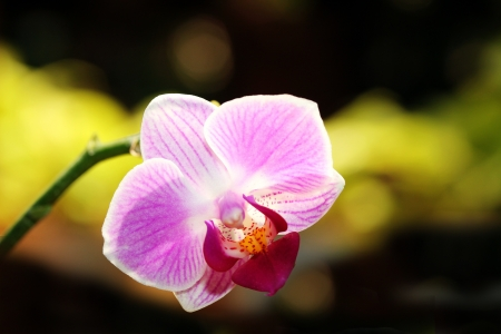 Beautiful Phalaenopsis hybrid orchid flower glowing in sunlight photo