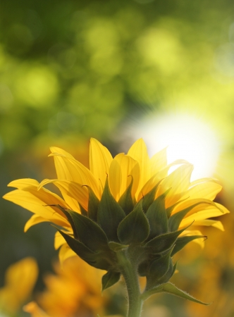sun lit: Amazingly beautiful sunflower bloom facing sun and brightly lit by sunlight