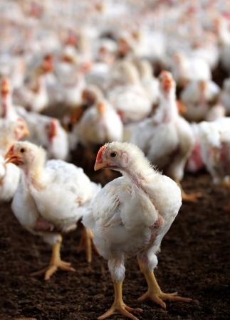 granja avicola: Gallina joven blanco mirando a la cámara con un grupo de pollos otros detrás de él en una granja de aves de corral criados especialmente para la carne y los huevos