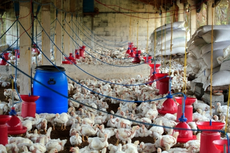 Poultry farm with many domesticated hen(fowl) being grown for their chicken meat, feathers and eggs Stock Photo