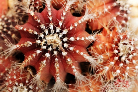 scientifically: Close-up of red and orange colored melon cactus showing sharp spines and spherical shape of the plant with ridges. This desert plant is also called scientifically as Cactus melocactus