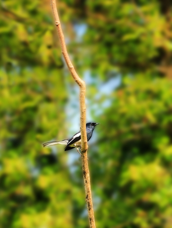 scientifically: Beautiful Oriental Magpie-Robin bird on a twig in southern india. This bird is common in india & south east asia. Its scientifically known as Copsychus saularis. This photo is male bird. Stock Photo