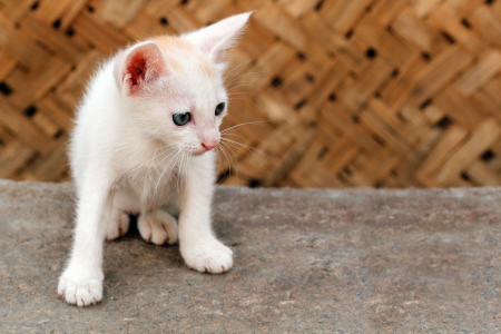 scientifically: Beautiful white colored young kitten staring at a distant insect. Scientifically called Felis catus, this animal is good friend of man and helps catch pests. These mammals are primarily nocturnal.