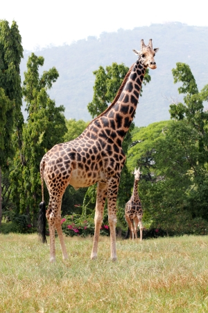 two animals: Two african origin giraffe standing in an enclosure at mysore zoo in India Stock Photo