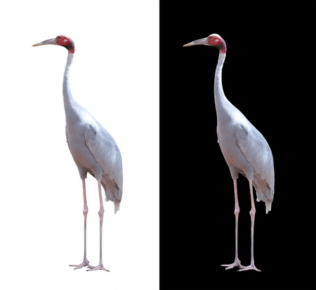 long neck: Beautiful sarus crane isolated on white. These birds are largest flying birds found mainly in india,southeast asia &amp, australia. The body is grey while the head is red with long beak Stock Photo