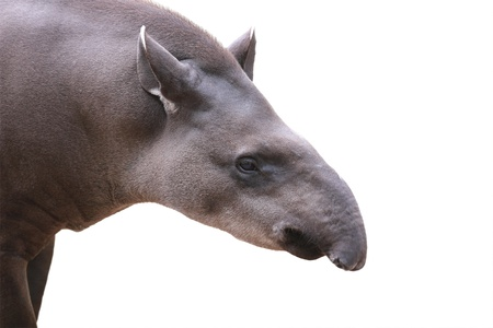 herbivore: Bairds tapir face closeup shot isolated on white. This is the largest land mammal in central and south america and is a herbivore. These animals are in danger of extinction because of humans. Stock Photo