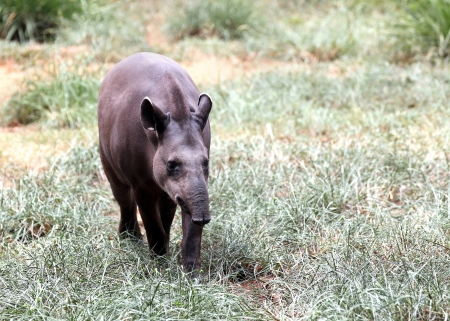 herbivore: Bairds tapir walking through forest searching for food. This is the largest land mammal in central and south america and is a herbivore. These animals are in danger of extinction because of humans.