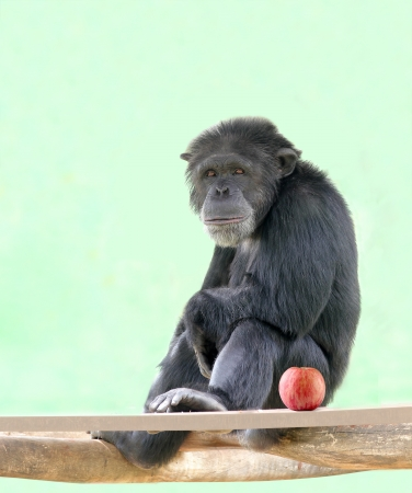 bonobo: Smart intelligent chimpanzee sitting in relaxed mood and looking with an apple besides it. Chimps are very smart animals and closest relatives of humans and they are of African origin.