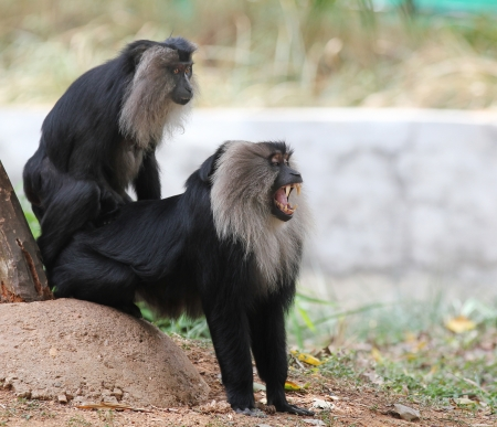 lion tail: Endangered and threatened endemic ape of india - lion tailed macaque.Its also known as wanderoo, bartaffe, beard ape and macaca silenus. The monkey here is roaring aggressively showing its sharp teeth
