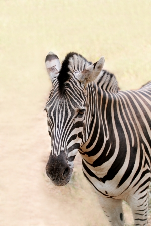 animal related: African wild animal zebras face closeup showing distinctive stripes in black and white. This mammal is closely related to horse the stripe patterns are unique to each zebra