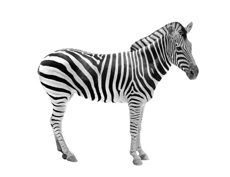 animal related: African wild animal zebra showing beautiful black &amp, white stripes . This mammal is related to horse &amp, the stripe patterns are unique to each zebra. The animal is isolated on white  Stock Photo