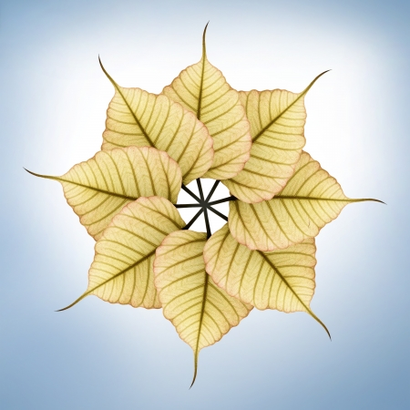 Fresh new & bright peepal(pipal) leaves arranged in circular fashion  photo