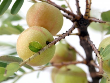 gooseberries: Ripe, fresh Indian gooseberry amla or aamla  on a tree which is known in India for its medicinal properties and has been used in ayurveda for centuries