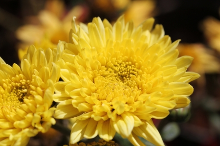 contrasting: Beautiful bright yellow chrysanthemum flowers on contrasting background Stock Photo