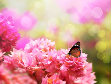 scientifically: Majestic monarch butterfly on beautiful pink bougainvillea flowers. Scientifically known as Danaus chrysippus & commonly called as Plain Tiger or African Monarch is basically indian monarch butterfly