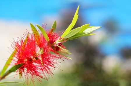 myrtaceae: bright red bottle brush(Callistemon) flower with sky in background. This brilliant, pretty flower cluster is cylindrical in shape with red colored stamens