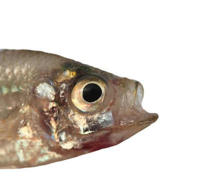 fresh saltwater dead fish isolated on white background with clipping path. Stock Photo - 21697529