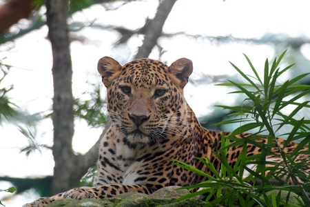 beautiful big cat leopard resting while staring at the camera in a national park wildlife reserve photo